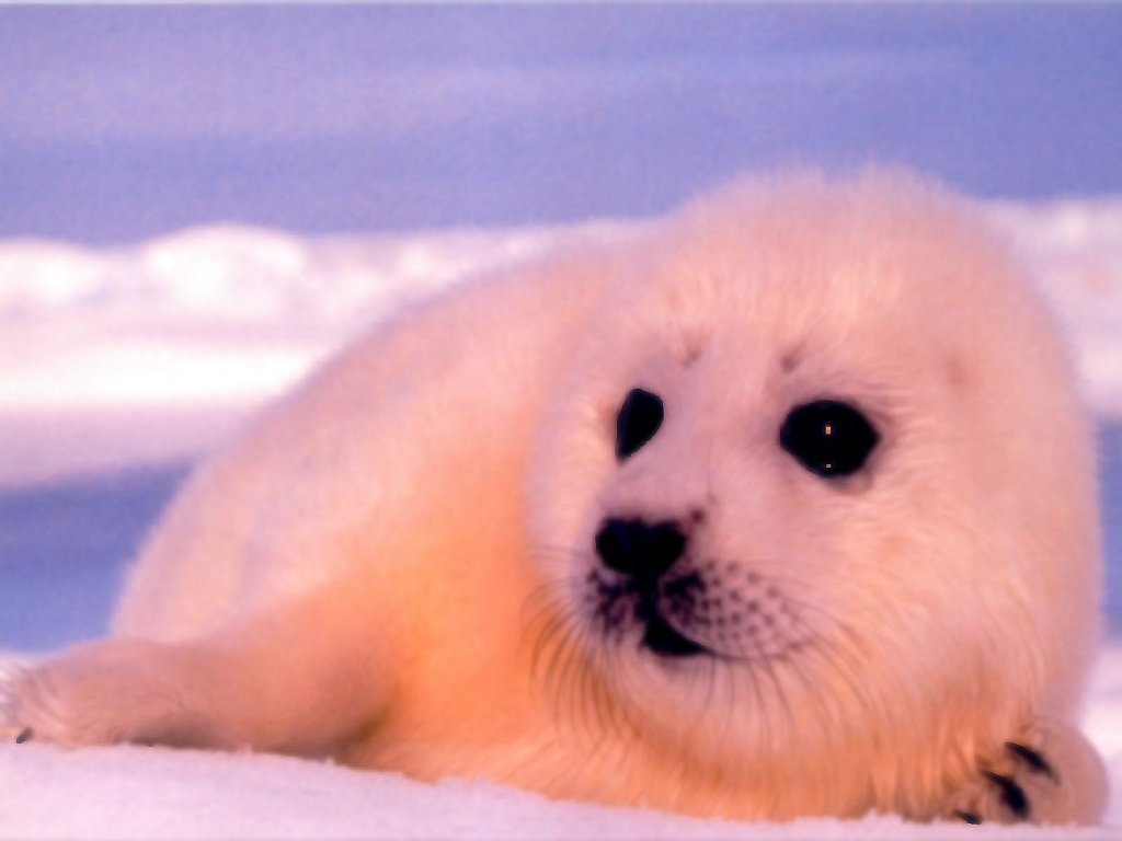 Seal Animal Animals Baby Animal Seal